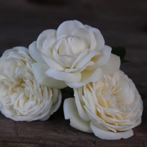 Rožės Artemis