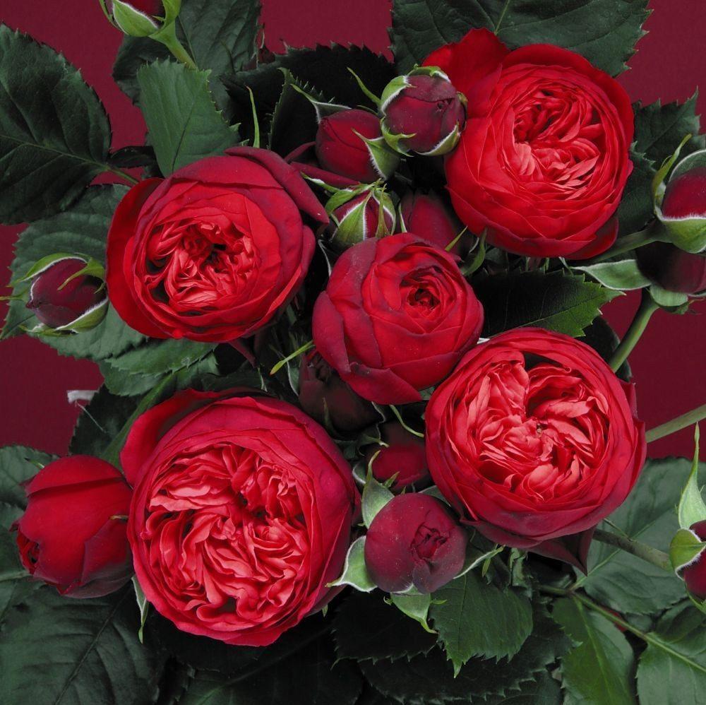 Raudonos bijūninės rožės Piano