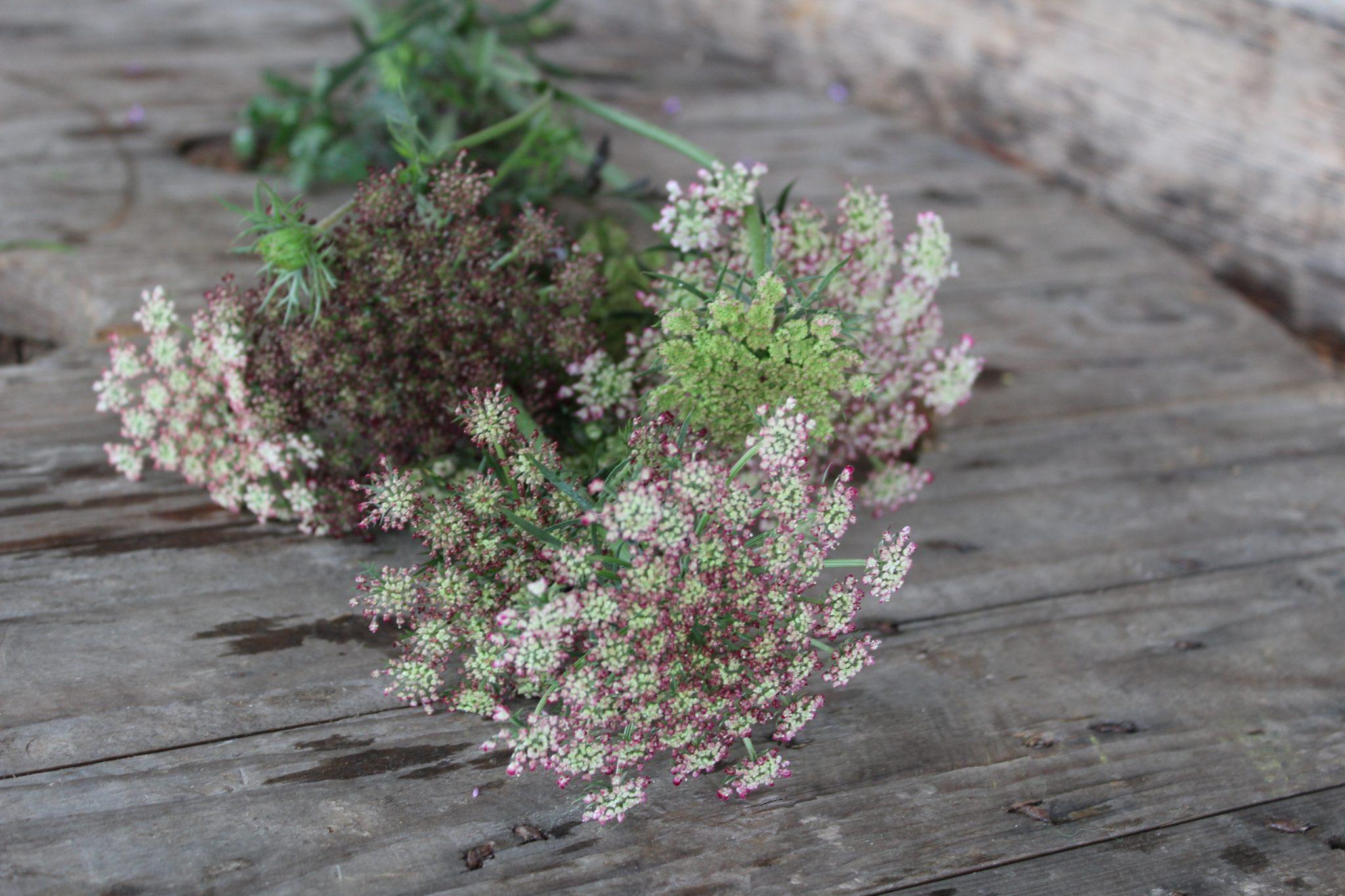 Morka Dara, dekoratyvinė morka , burgundinės spalvos gėlės